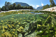 Chum Salmon<br /> <br /> Paul Vesei/Engbretson Underwater Photography