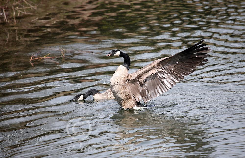 Geese defending territory