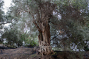 Olive trees with nets to catch the falling olives during harvest time in the mountains of the Chania district at the Greek island of Crete.