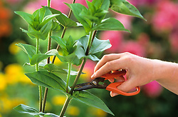 Cutting cut and come again annuals with florist scissors. Showing correct place to cut.