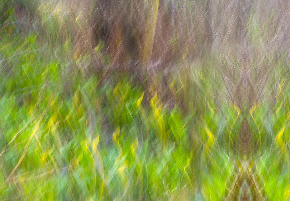 Impressionistic rendering of skunk cabbage, March, Clallam County, Washington, USA