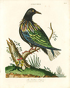 Nicobar pigeon (Caloenas nicobarica) Handcolored copperplate engraving From the Encyclopaedia Londinensis or, Universal dictionary of arts, sciences, and literature; Volume IV;  Edited by Wilkes, John. Published in London in 1810