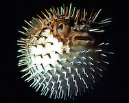 Balloonfish (Diodon holocanthus).  When attacked they will take in water or air to blow themselves up, extending their spines.  Balloonfish are also called Porcupinefish.  Florida Keys