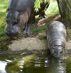© licensed to London News Pictures. Braintree, UK.  07/06/2011. Sapo the pygmy hippo takes his first dip in his outdoor pool at Whipsnade Zoo in Dunstable, Bedfordshire today (07/06/2011).  The three month old calf is important for the conservation of this species worldwide. Pictured here with his mother Flora. Photo credit should read Ben Cawthra/LNP