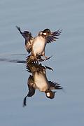 Bufflehead Duck hen landing with reflection.(Bucephala albeola).Back Bay Reserve,California