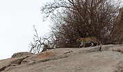 Indian leopard (Panthera pardus fusca) from Jawai, Rajasthan, India.