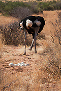 Female Somali ostrich (Struthio molybdophanes) with eggs in her nest, also known as the blue-necked ostrich, is a large flightless bird native to the Horn of Africa.[2] It was previously considered a subspecies of the common ostrich, but was identified as a distinct species