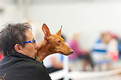 © Licensed to London News Pictures. 16/08/2019. Llanelwedd, Powys, UK. Rafa, a cerneco dell'etna hound, spots something interesting before judging on the first day of The Welsh Kennel Club Dog Show, held at the Royal Welsh Showground, Llanelwedd in Powys, Wales, UK. Photo credit: Graham M. Lawrence/LNP