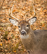 Deer from the nearby UW-Madison Arboretum frequently visit the neighborhood, although usually during the night. But on Black Friday 2018, several visit the neighborhood during the day, including this six point buck in the backyard. Photo taken November 23, 2018.