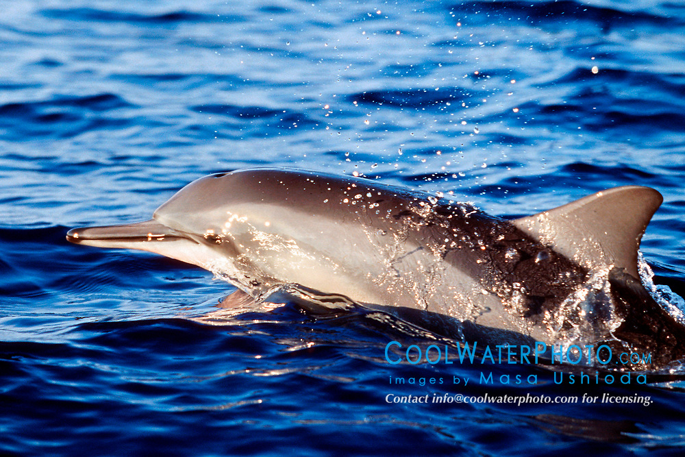 Long-snouted Spinner Dolphin, porpoising, Stenella longirostris, Kona, Big Island, Hawaii, Pacific Ocean