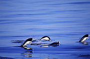 Southern Rightwhale Dolphins<br />Lissodelphis peronii<br />Pacific Ocean, off CHILE.  South America<br />RANGE; pan Tropical in South Oceans