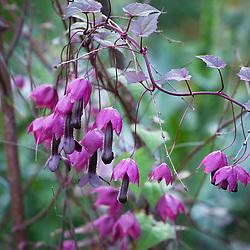Rhodochiton atrosanguineus 'Purple Bells' growing up a birch tripod. Purple bell vine