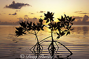 red mangrove tree sapling at sunset, Lighthouse Reef Atoll lagoon, Belize, Central America ( Caribbean Sea )