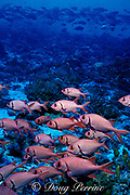 pearly soldierfish, Myripristis kuntee, Tiputa Pass, Rangiroa Atoll, Tuamotu Islands, French Polynesia, ( South Pacific Ocean )