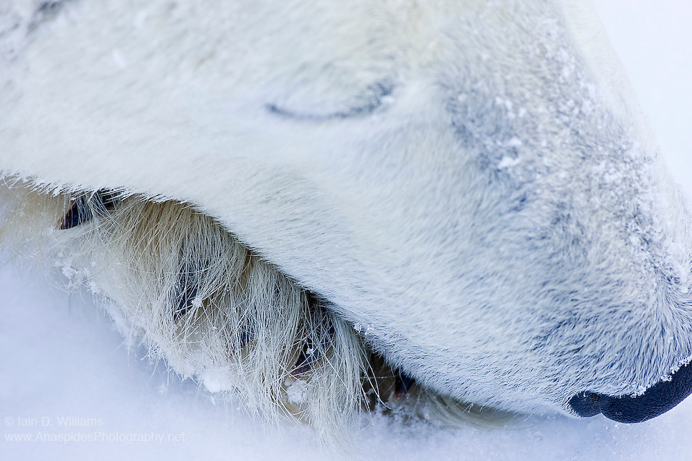 A sleeping polar bear.  The guard hairs and claws of the bear's paw are easily seen