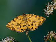 Speckled Yellow Moth, (Pseudopanthera macularia), Kent UK, day flying