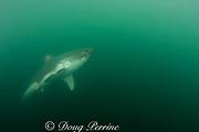 salmon shark, Lamna ditropis, Prince William Sound, Alaska, U.S.A. (dm)