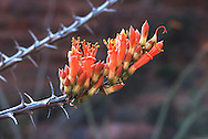 Ocotillo bloom, Sedona, AZ