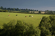 Cows on the crest of a hill in the Shropshire AONB on 21st July 2020 in Cleedownton, United Kingdom. The Shropshire Hills Area of Outstanding Natural Beauty covers about a quarter of the county, mainly in the south. Shropshire is one of Englands most rural and sparsely populated counties.