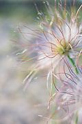 "The small pasque flowers (Pulsatilla pratensis) with fruits and occasional flower buds growing on coastal dunes in late afternoon, nature reserve ""Užava"" (dabas liegums ""Užava""), Kurzeme, Latvia Ⓒ Davis Ulands   davisulands.com"