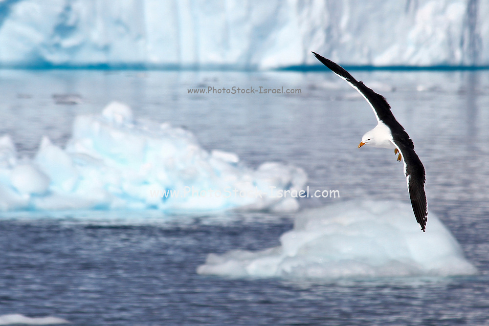 Kelp gull (Larus dominicanus) in flight. Danco Island or Isla Dedo is an island off Antarctica, 1 nautical mile (2 km) long lying in the southern part of Errera Channel,