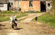 Free Range Chickens, Wisconsin Backroads Photo taken October 25, 2019.