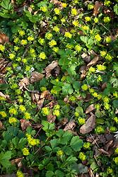 Chrysosplenium davidianum