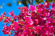 Bougainvillea, or Bougavillia, dramatic exotic flowering shrub in vibrant shocking pink shade of colour in Corfu, Greece