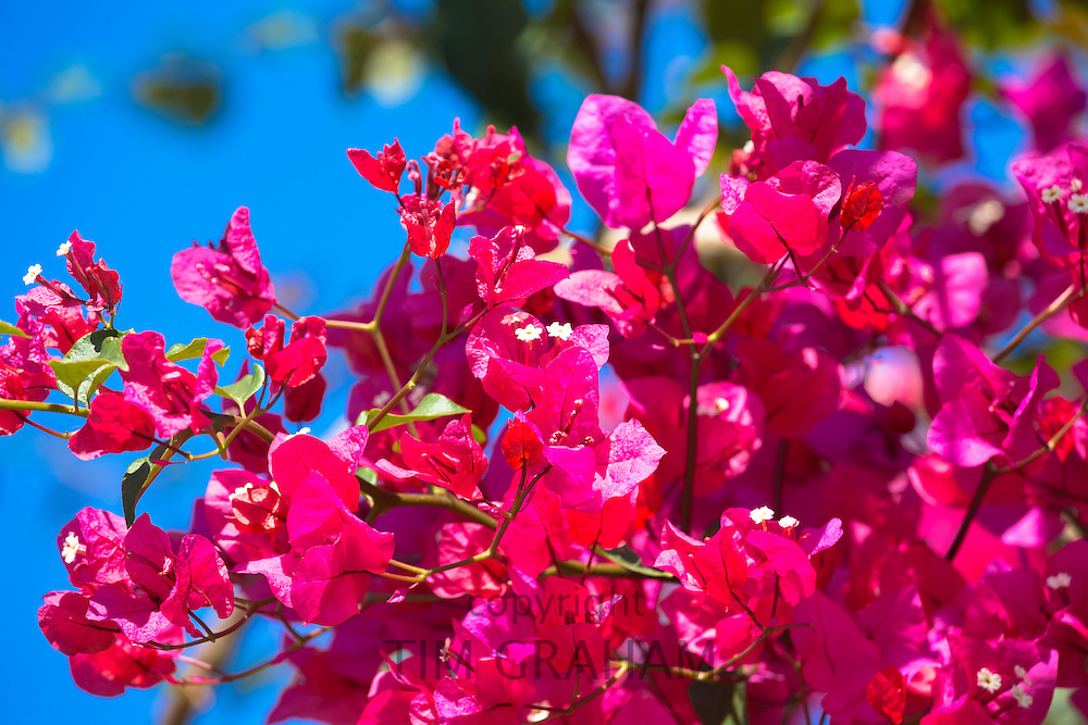 Bougainvillea, or Bougavillia, dramatic exotic flowering shrub in vibrant shocking pink shade of colour in Corfu, Greece
