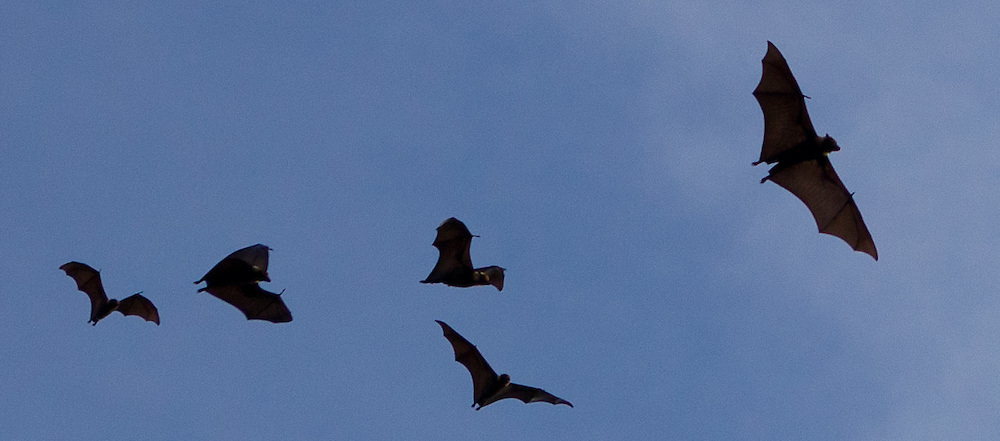 Bats in Flight, Wings Silhouetted Against the Sky