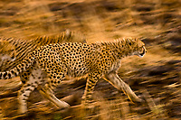 Cheetahs running, Masai Mara National Reserve, Kenya
