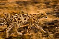 Cheetahs running, Masai Mara National Reserve, Kenya