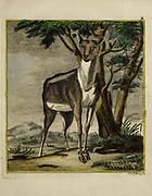 Deer from a zoology study of animals 'Dierkundige beschouwingen, eeniger soorten van zeldzame dieren, door naauwkeurige beschryvingen, afbeeldingen en verhandelingen opgeheldert' by Pallas, Peter Simon, Printed in Rotterdam in 1770