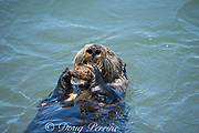 California sea otter, Enhydra lutris nereis ( threatened species ), eating a mussel, with another balanced on its chest, Elkhorn Slough, Moss Landing, California, United States ( Eastern Pacific )