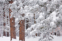 Frost covered needles on Ponderosa Pine trees (Pinus ponderosa), Methow Valley Washington USA