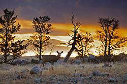 Mule Deer, Dubois Wyoming, Doe, Sunrise