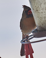 Northern Cardinal (Cardinalis cardinalis). Image taken with a Nikon D5 camera and 600 mm f/4 VR lens.