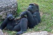 Reclining Gorilla