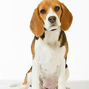 20200728 Beagle Size