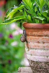 Snails climbing up a terracotta container towards a hosta