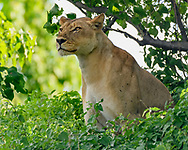 Lioness sits watchfully in cool riverine forest vegetation along the Chobe River, Chobe National Park, Botswana, © David A. Ponton