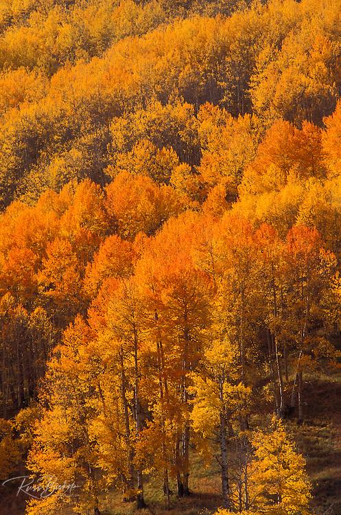 Soft light on orange and golden fall aspens in the San Juan Mountains, San Juan National Forest, Colorado USA