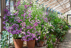Pot display of Schizanthus in the glasshouse at Parham House. Butterfly flower, Fringeflower, Poor-man's-orchid