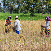 Villagers harvesting rice by hand somewhere between Siem Reap and the road leading to the Beng Mealea temple.