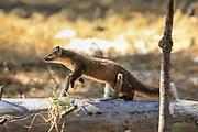 American (Pine) Marten Running in Habitat