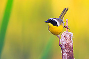 Common Yellowthroat, Montana