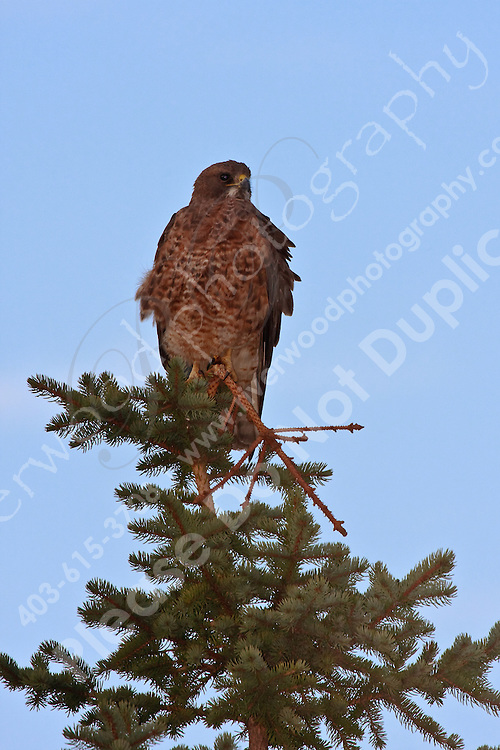 Perched at the top of an evergreen tree East of Calgary near Shepard..©2009, Sean Phillips.http://www.Sean-Phillips.com