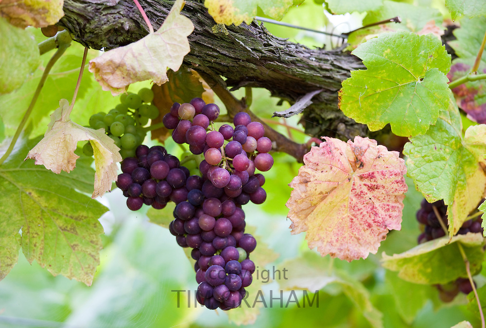 Pinot Noir grapes growing on vines for British wine production at The Three Choirs Vineyard, Newent, Gloucestershire
