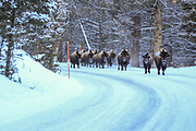 Bison (buffalo) on the road in winter in Yellowstone National Park.