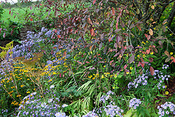 Aster cordifolius 'Little Carlow' growing under Prunus padus 'Colorata' at Glebe Cottage with rudbeckia and Helianthus 'Lemon Queen'